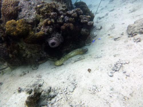 Uma das moréias de olho branco que tinham nos mergulhos