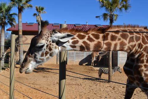 Uma girafa comportada no zoológico